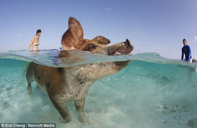 isla cerdos bahamas (9)