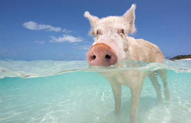 isla cerdos bahamas (8)