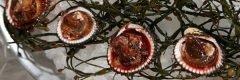 Almejas con sangre