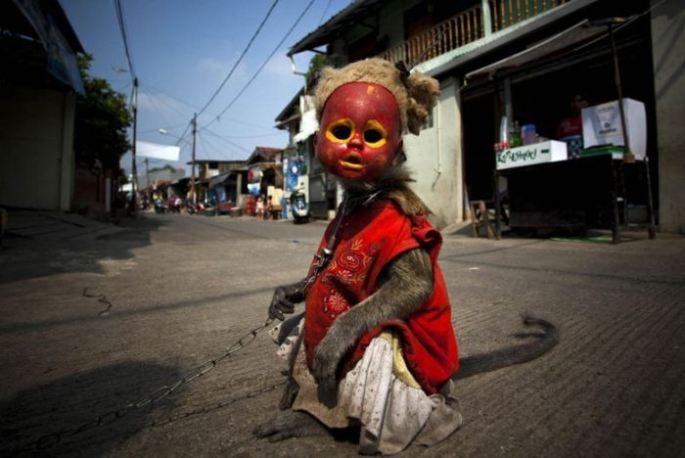 Monos con mascara indonesia (1)