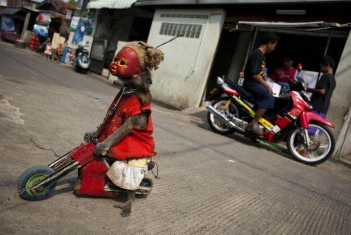 Monos con mascara indonesia (4)