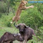 León volador: Búfalo lanza al depredador por los aires