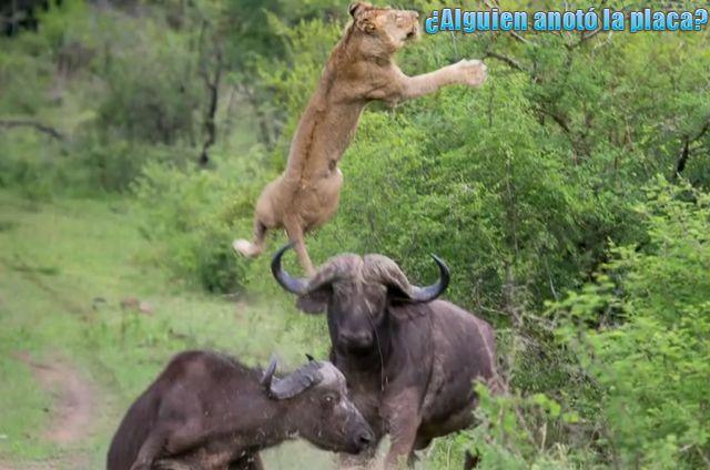 León vs Búfalo