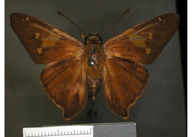 E. zestos oberon