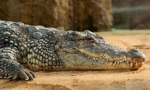 cocodrilo macho