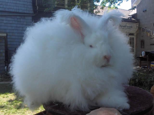 Conejo Angora (4)
