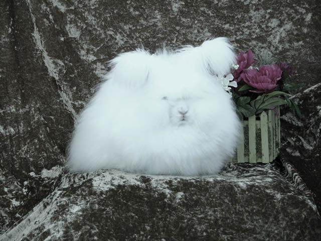 Conejo Angora (3)