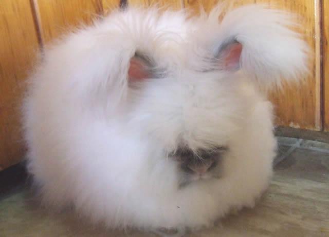 Conejo Angora (2)