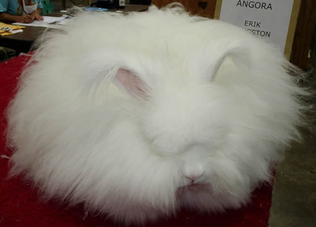 Conejo Angora (1)