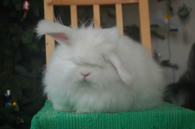 Conejo Angora (13)