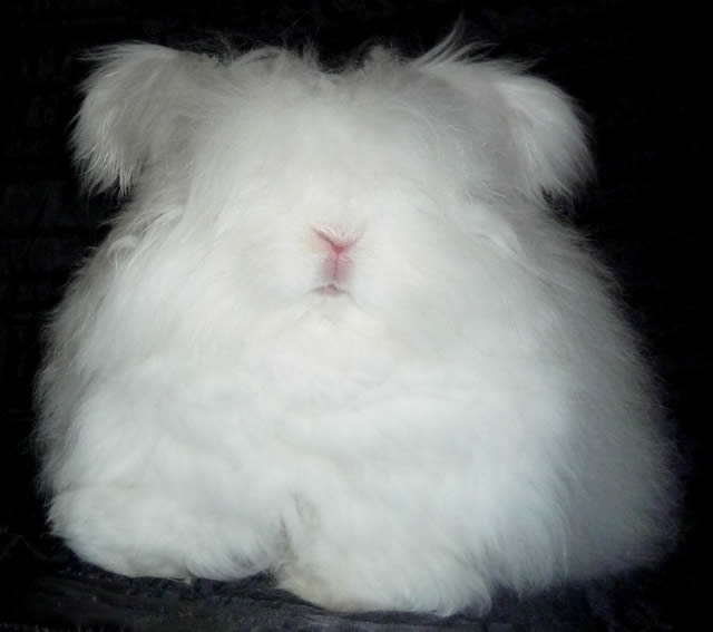Conejo Angora (12)