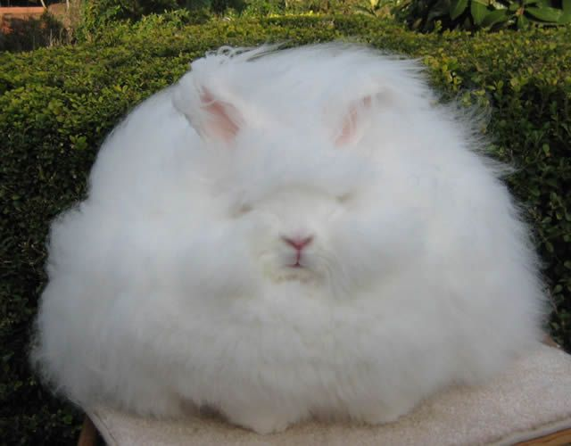 Conejo Angora (11)
