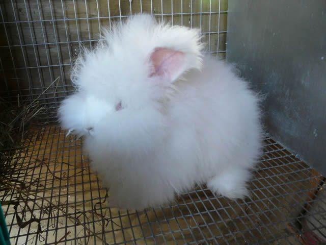 Conejo Angora (8)