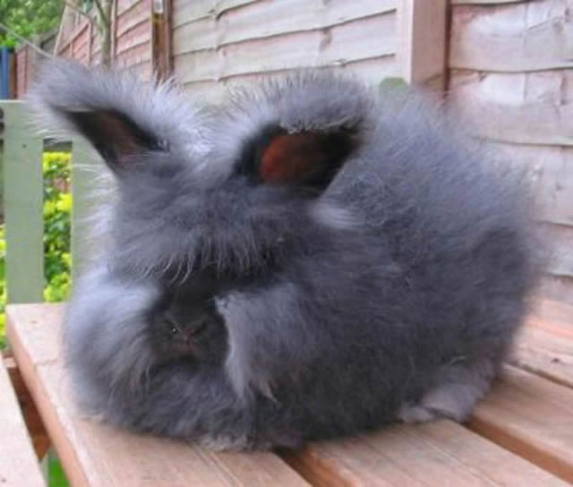 Conejo Angora (7)