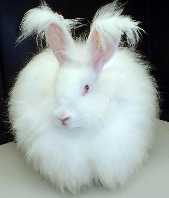 Conejo Angora (6)
