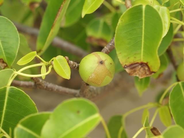 Manzanilla de la muerte frutos (4)