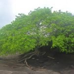 Manzanilla: el árbol de la muerte