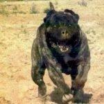 Valiente Bulldog ataca a Tigre y León