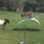 Cabras jugando
