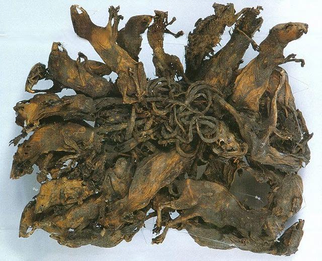 Museum Mauritianium rey de las ratas