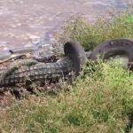 Serpiente gigante devorando a un cocodrilo en Australia