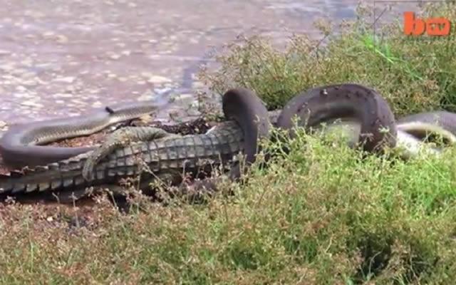 serpiente devora cocodrilo