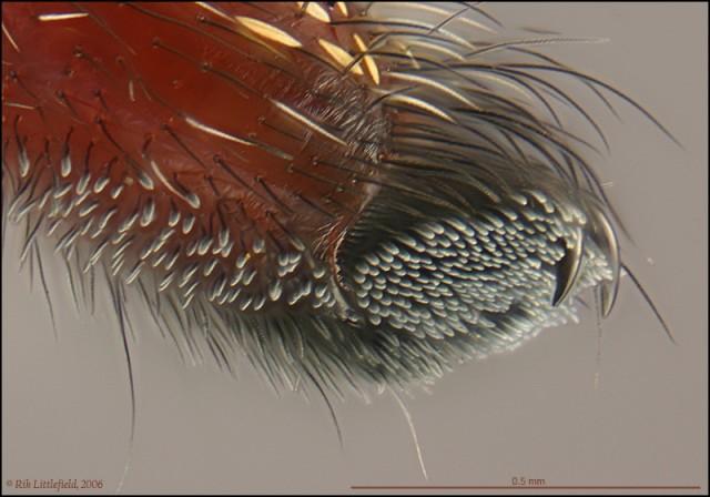 para araña microscopio