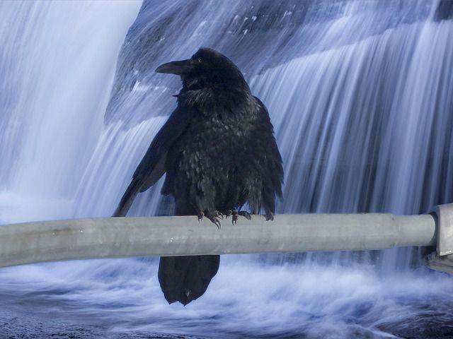 cuervo cascada