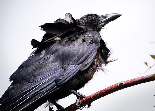 cuervo desplumado