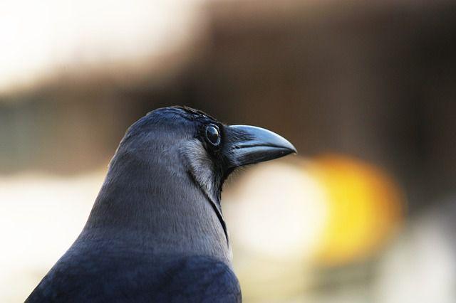 cuervo close up