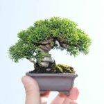 Micro bonsáis dan un nuevo significado a la palabra miniatura