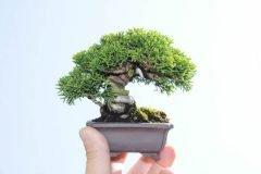 cho-mini bonsái (5)