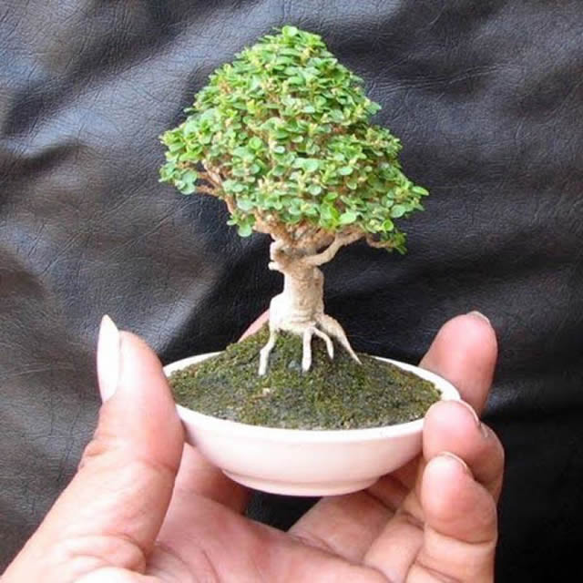 Micro bons is dan un nuevo significado a la palabra for Bonsai costo