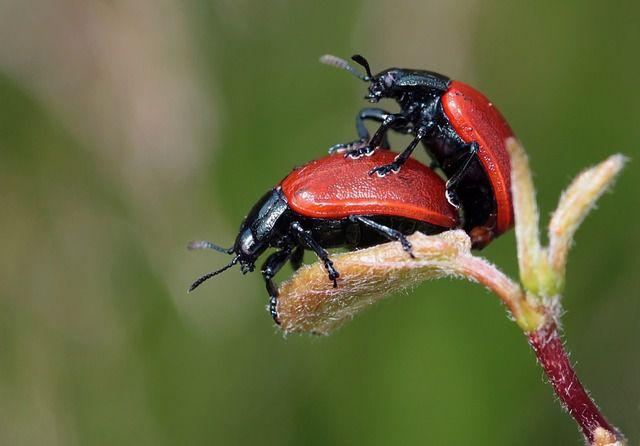 escarabajos pareja