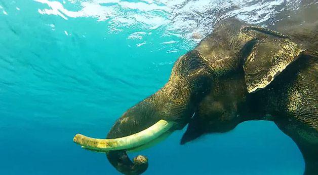 rajan elefante nadador (6)