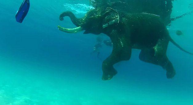 rajan elefante nadador (5)
