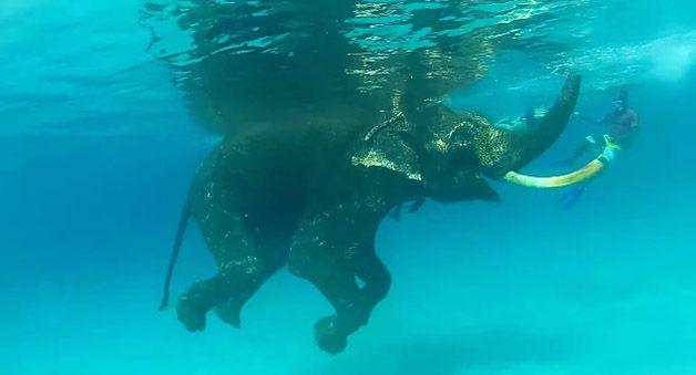 rajan elefante nadador (4)