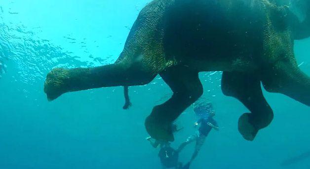 rajan elefante nadador (3)