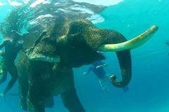 rajan elefante nadador (2)