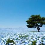 Durante la primavera, el parque Hitashi en Japón se transforma en un paraíso azul