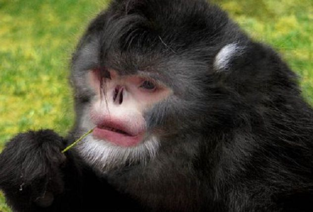 langur negro de nariz chata