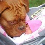 Pequeños bebés y sus adorables perros gigantes