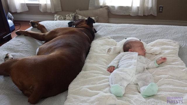 bebes perros gigantes fotografía (15)