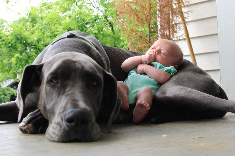 bebes perros gigantes fotografía (14)