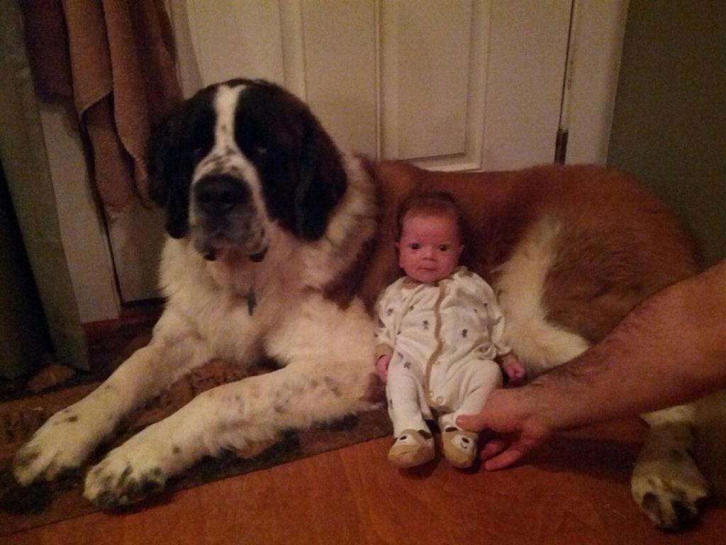 bebes perros gigantes fotografía (9)