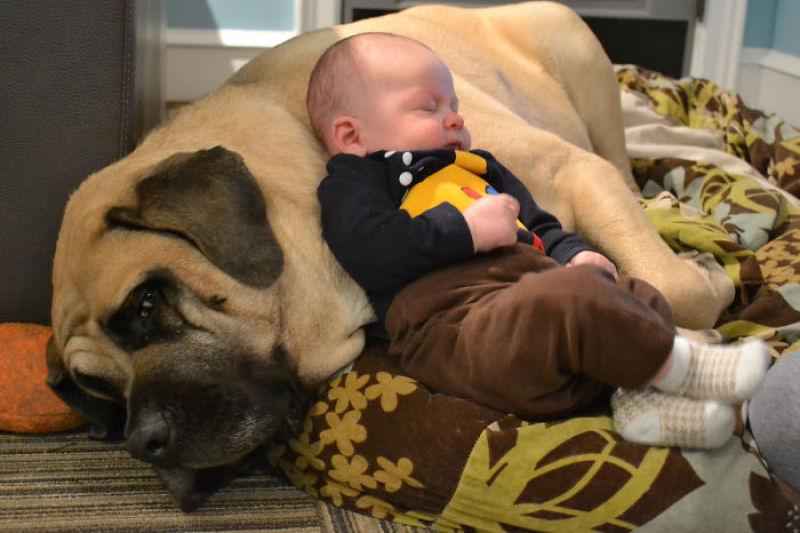 bebes perros gigantes fotografía (6)