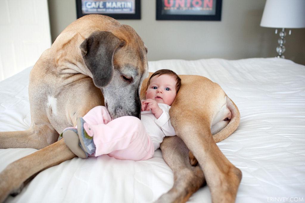 bebes perros gigantes fotografía (33)