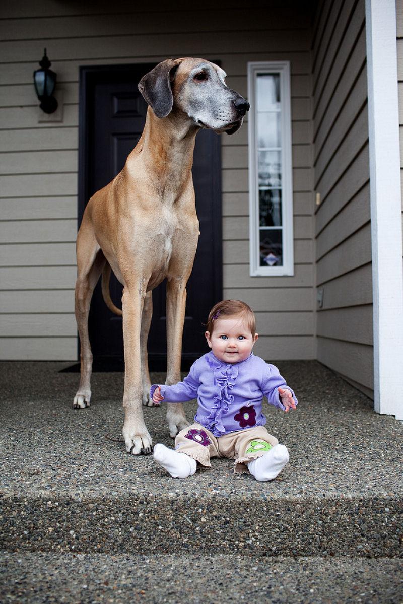 bebes perros gigantes fotografía (32)