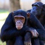 Investigadores traducen el "lenguaje" chimpancé