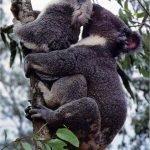El salvaje ritual de apareamiento de los koalas